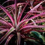Драцена marginata colorama
