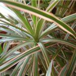 Драцена marginata tricolor