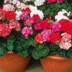 Зональные или окаймленные герани разных расцветок