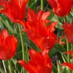 Красный Тюльпан Adonis