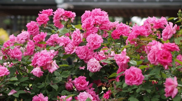 Куст бурбонской розы