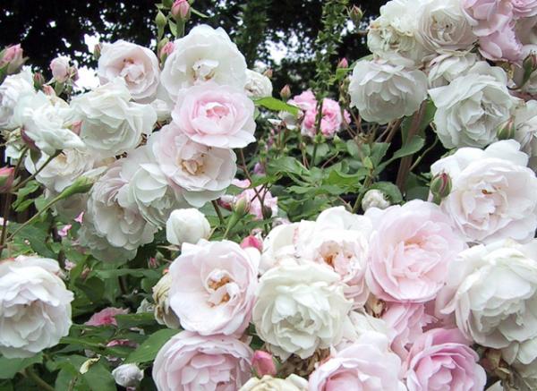 Нуазетовая роза