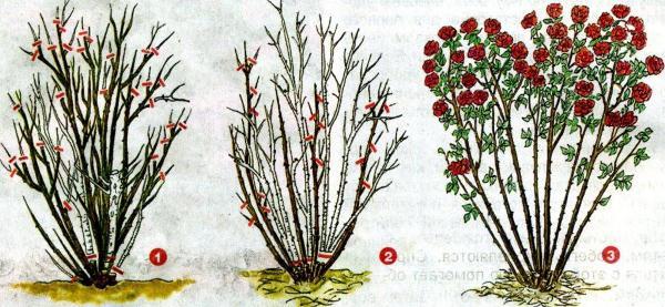 Схема обрезки розы Абрахам Дерби