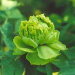 Пион Грин Джейд (Green Jade)