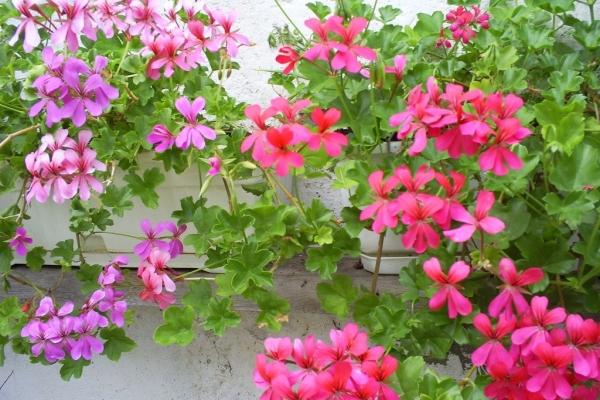 Пеларгония (герань) плющелистная: подробное описание вида, выращивание и уход