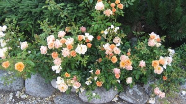 Почвопокровная роза Амбер сан (Amber Sun)