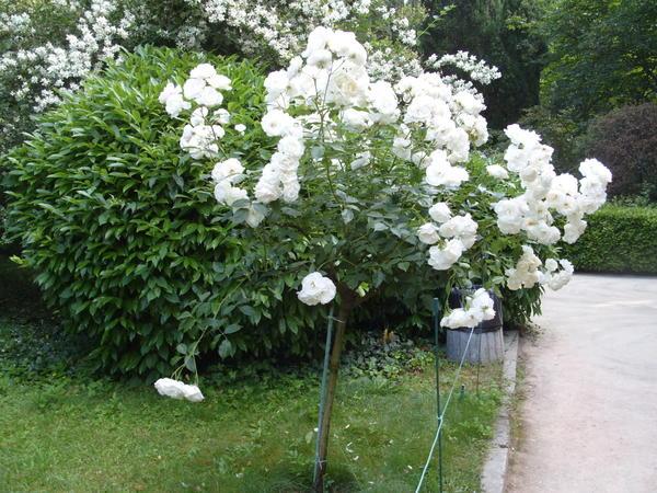 Почвопокровная штамбовая роза Ахтиар (Ahtiar)