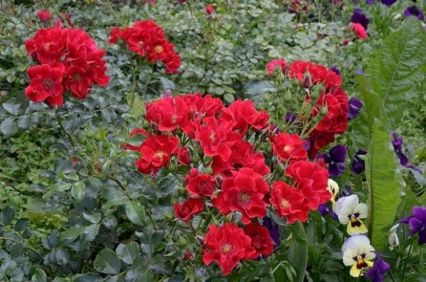 Почвопокровная роза Матадор (Matador)