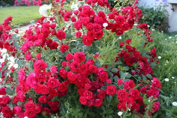 Почвопокровная роза Скарлет (Scarlet)