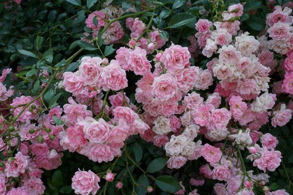 Почвопокровная роза Фейри (Fairy)