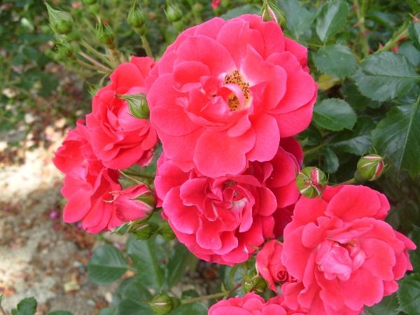Почвопокровная роза Фиона (Fiona)