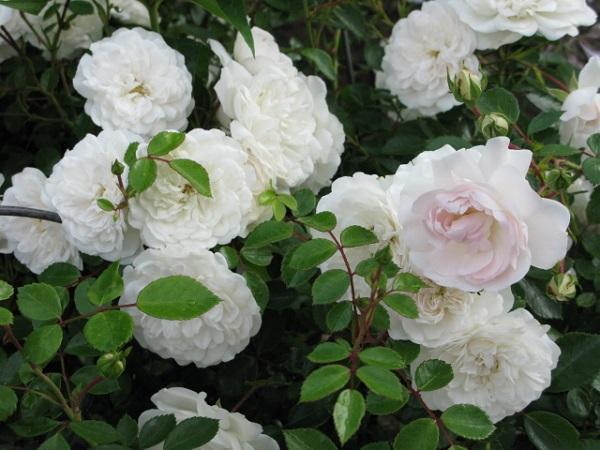 Почвопокровные розы Свани (Swany)