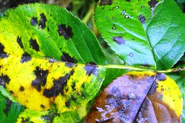 Листья чайно-гибридной розы поражены ржавчиной