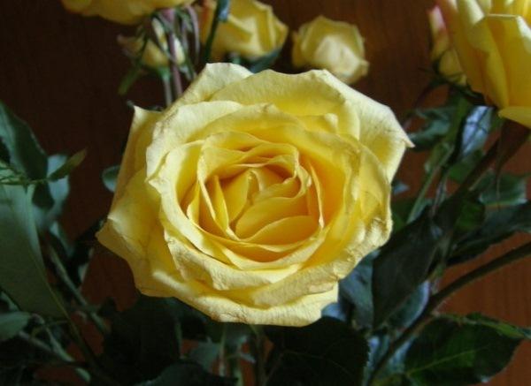 Роза Аальсмеер Голд (Aalsmeer Gold)