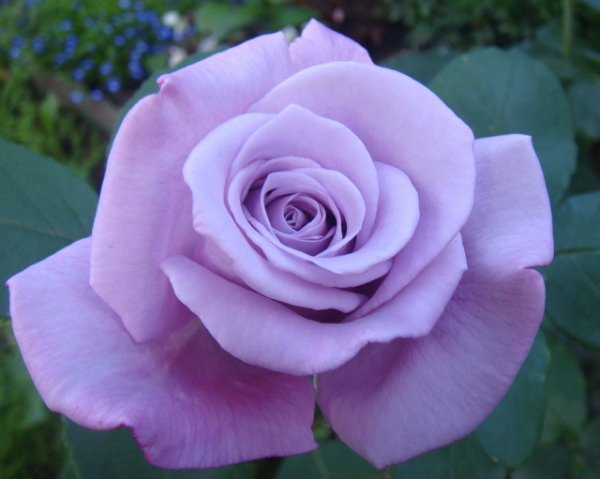 Роза Блю мун (Blue Moon)