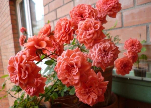 Роза Гранат (Granat)