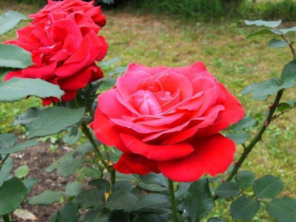 Роза Дам де кер (Dame de Coeur)