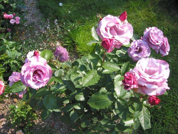 Роза Диорессенс