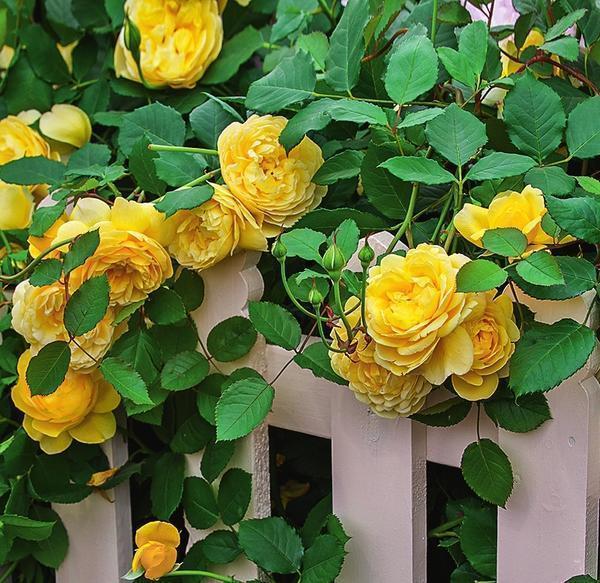Роза Жена поэта