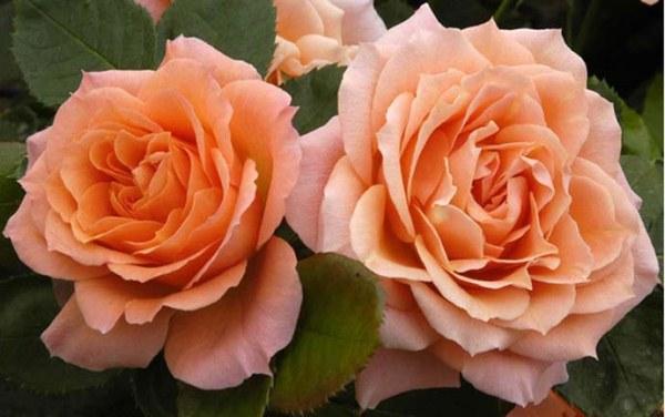 Роза Колибри (Colibri)