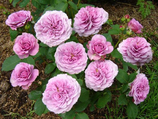 Роза Лавандер (Lavender Jewel)