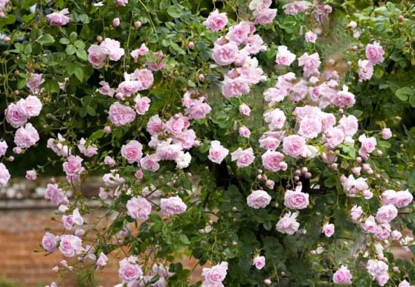 Роза Нью Даун (New Dawn)