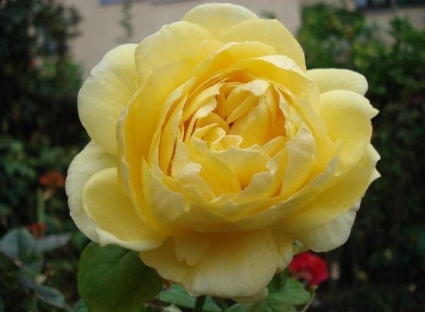 Роза О Соле Мио