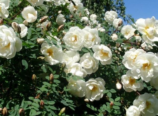 Роза Пимпинеллифолия Плена