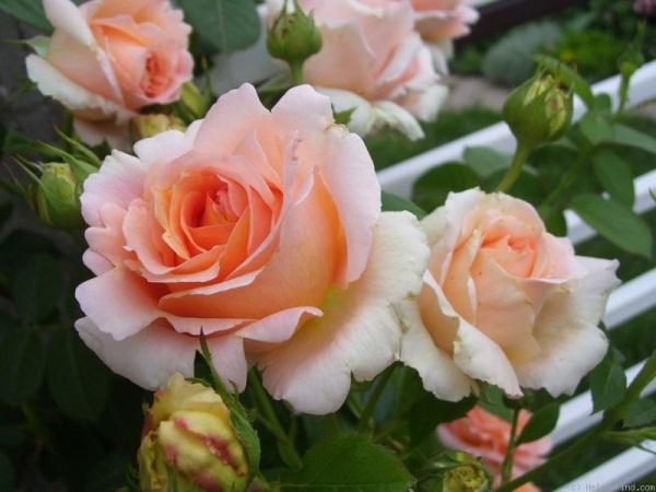 Маленькая роза не боится мороза