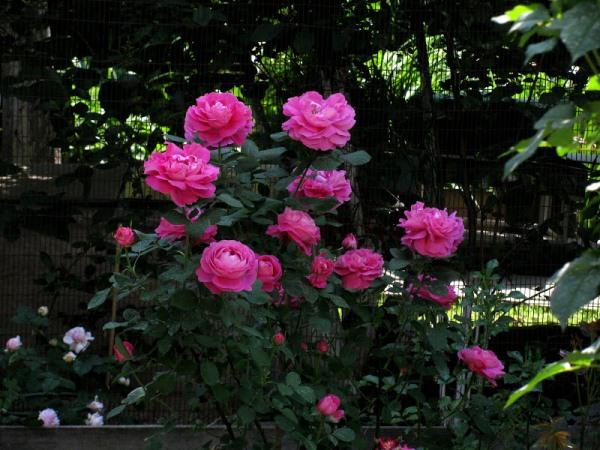 Роза Поль Нерон (Paul Neyron)
