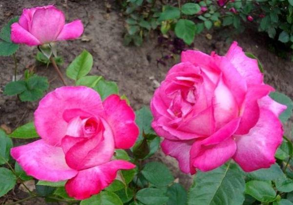 Роза Равель (Ravel)