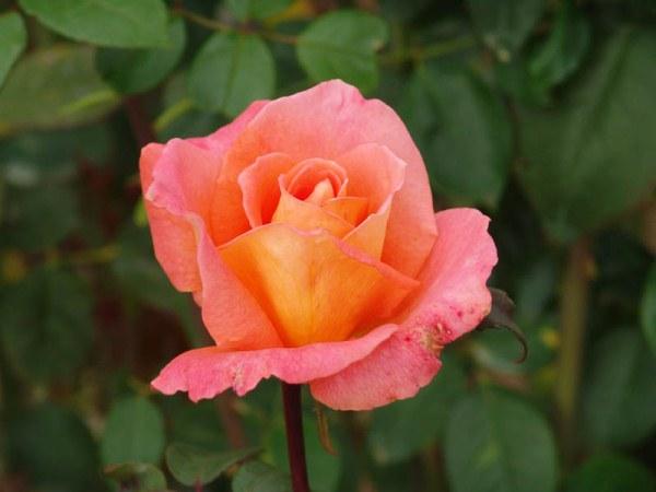 Роза Ambassador 2014