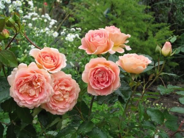 Роза Evelyn