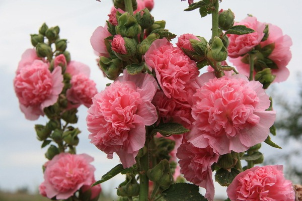 Розовая шток роза