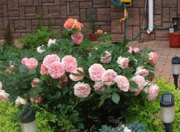Розы Chippendale