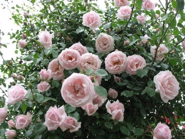Розы New Dawn