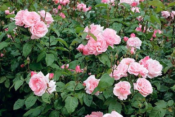 Розы Queen Elizabeth