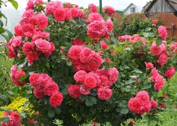 Розы Rosarium Uetersen