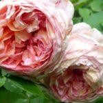 Трипсы на розе Абрахам Дерби