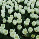 Тюльпаны Жемчужные