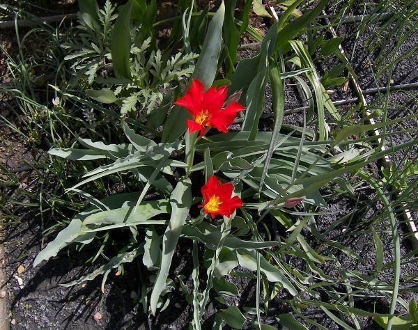 Тюльпан Введенского