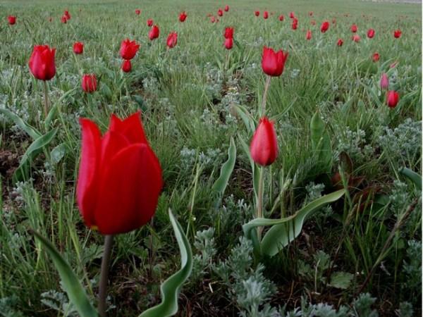 Тюльпан Великий