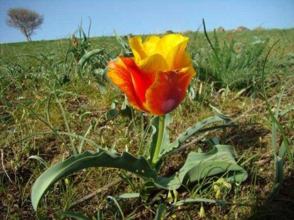 Тюльпан Грейга (Tulipa Greigii)