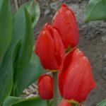 Тюльпан Red Favourite