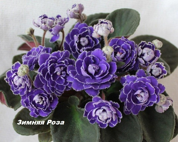 Фиалка Зимняя роза