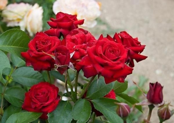 Флорибунда розы что это такое