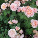 Французская парковая роза Гийо