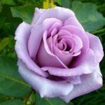 Чайно-гибридная роза Блю Мун