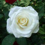 Чайно-гибридная роза Вирджиния