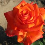 Чайно-гибридная роза Золотой Дракон
